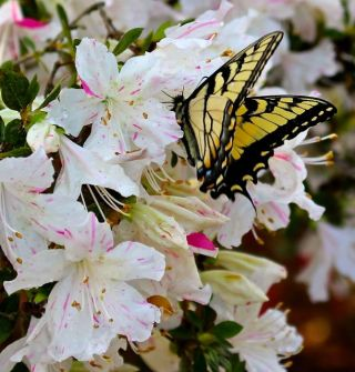 Eastern Tiger Swallowtail enjoying an azalea