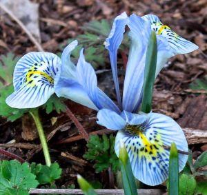 Iris cristata, cultivar forgotten
