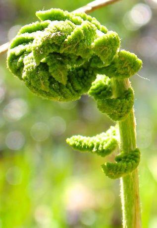 Unfurling fiddlehead of a Cinnamon fern