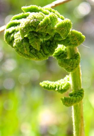 Unfurling fiddlehead of a Cinnamon fern