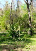 Entire Ashe Magnolia tree on April 5.