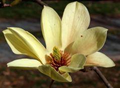 Magnolia 'Elizabeth' flower on March 18.