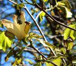 melted magnolia Elizabeth