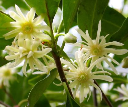 Evergreen leaves, not a favorite of deer, beautiful, long-lasting flowers. Do you know this one?