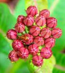 purple milkweek flowerbuds