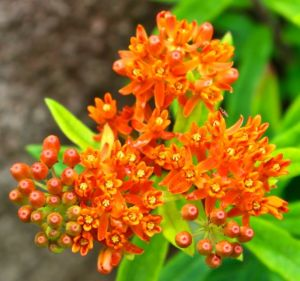 Butterfly weed (Asclepias tuberosa) is a milkweed family member.