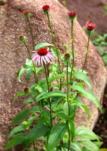 Purple coneflower blooms last a long time, and their centers provide a favorite landing pad for pollinators.