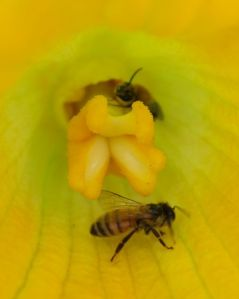 Honeybees pollinating a squash blossom