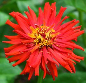 red cactus zinnia