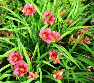 Siloam Jim Cooper blooms