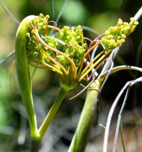 Unfurling inflorescence of bronze fennel