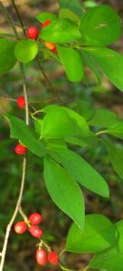 The berries are a favorite of native fruit-eating birds.