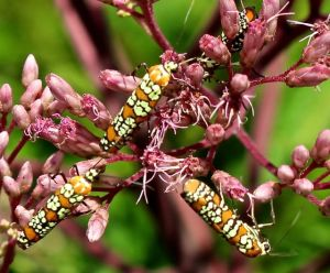 Ailanthus Webworm Moths delighting in Joe's flowers.
