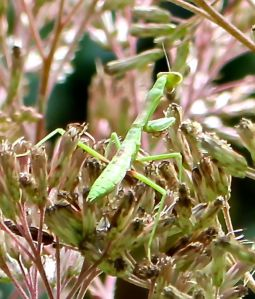 This Chinese Praying Mantis remained stationed on this clump of Joe Pye Weed for most of a week, harvesting unwary pollinators.