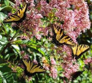 Everybody loves Joe Pye Weed.