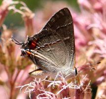 A Hairstreak Butterfly