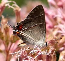 A Hairstreak Butterfly