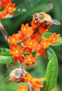 Honeybees on Butterfly Weed
