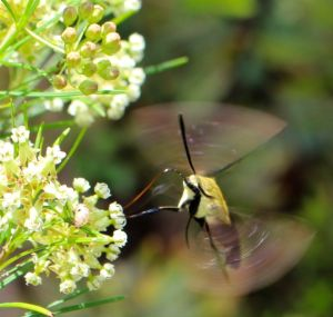 Snowberry Clearwing moth visiting flowers of Whorled Milkweed.
