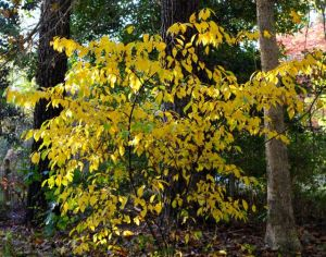 Fall color of a spicebush.