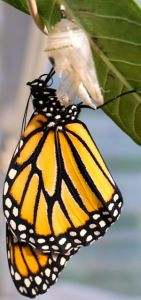 A freshly emerged Monarch Butterfly