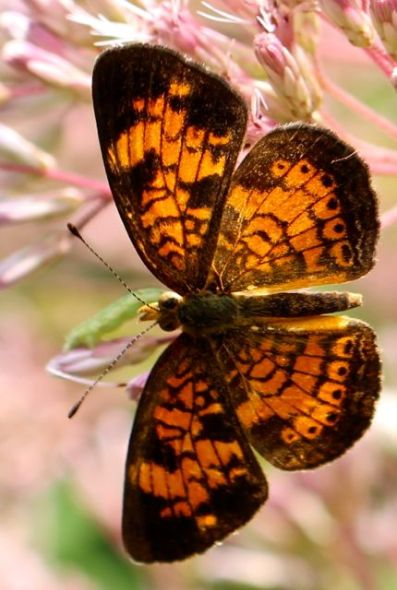 A Pearl Crescent Butterfly