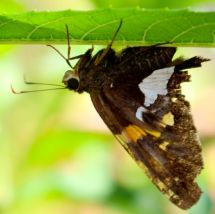 A Silver-spotted Skipper resting under a Joe Pye Weed leaf