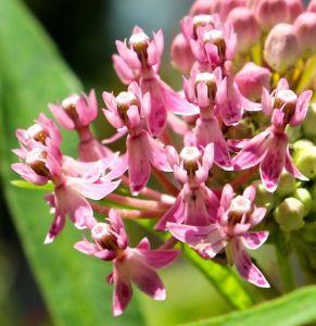 Swamp Milkweed (A. incarnata)