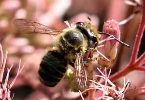 A native long-horned bee visiting native Joe Pye Weed flowers