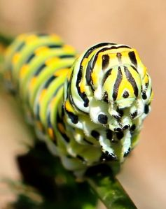 Feed a caterpillar; feed our native world.