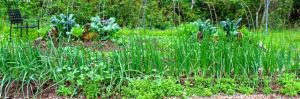 The onion bed on April 30 with an adjacent bed of young salad greens.
