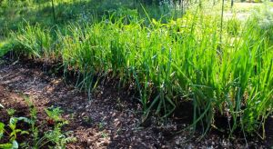Onion bed just before first harvest on May 25.