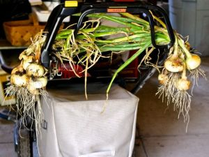 We hung the harvested Yellow Granex bulbs -- leaves still attached -- to anything handy in the garage. In this case, our push mower was drafted into onion-curing duty.
