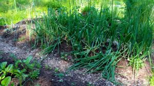 By May 31, some of the Candy plants were flopping over, ready to be harvested.