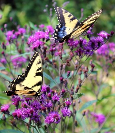 Eastern Tiger Swallowtails in late August.