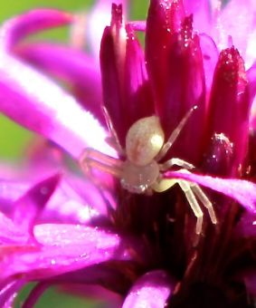 A crab spider waiting for unwary pollinators in early September.