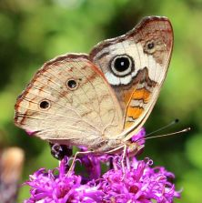 A Common Buckeye in early September.