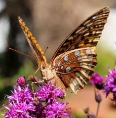 A Great-Spangled Fritillary in early September.