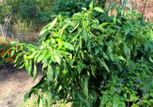 Italian summer pepper varieties still going strong.
