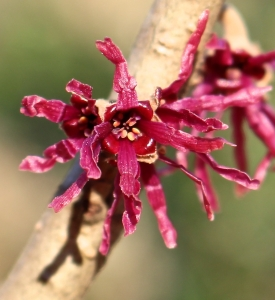 Glamor close-up of Witch Hazel 'Amethyst'