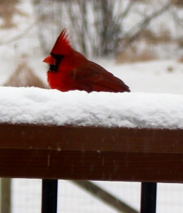 An unhappy cardinal surveys the sleet/snow accumulation on the deck railing.
