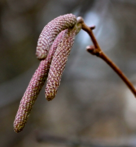 Expanding male catkins of native American Hazelnut (Corylus americana).