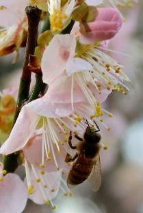honeybee-on-pinkies