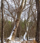 snowy-trunks