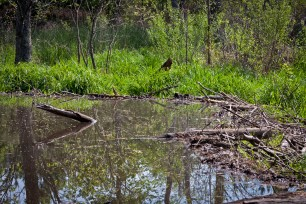 The beaver dam; this is the deepest area, where the Canada geese prefer to frolic.