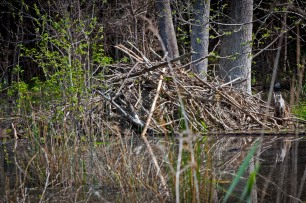 The beaver lodge in the middle of the deepest part of their pond.