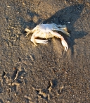 Tracks of the gull that caught this crab were still visible.