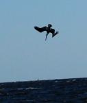 diving pelican2