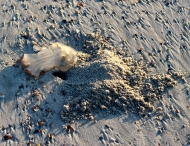 A sand crab dug its daylight hiding hole beside a beached jellyfish -- snack food?