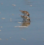 sandpipers closer